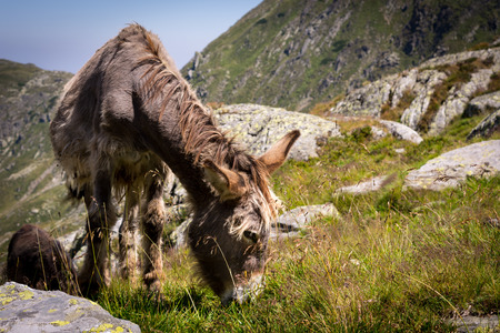 Donkey eating grass in the mountains, view with many stones, Carpathian Mountains, Romania