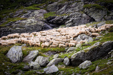 Flock of sheep in the mountains, green grass and grey stones, wall of rocks is in the background and several stones is located in the front part
