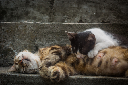 calico cat: Sleeping calico cat mother (white with black and ginger patches) is feeding her black and white kitten at grey concrete stairs Stock Photo