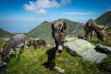 Three donkeys eating grass in the mountains with blue sky and clouds in the background Zdjęcie Seryjne