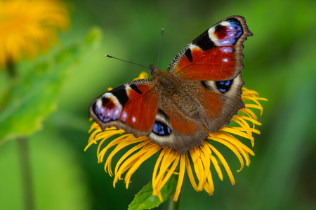 European Peacock butterfly sitting on a yellow flower