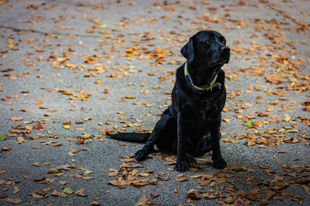 Black Labrador Retriever sitting on the gray ground, looking at you, dog has green collar, orange leaves are around