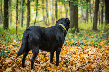 Black Labrador Retriever dog standing in the forest during autumn, dog has green collar, orange leaves are around