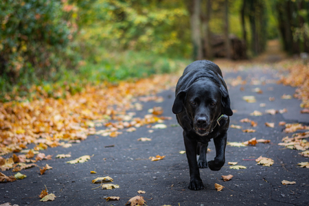 Black Labrador Retriever dog walking in the forest during autumn, dog has green collar, orange leaves are around on the path