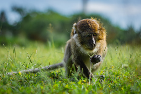 Eating-crab macaque (long-tailed macaque) is browsing a grass in Koh Lanta island in the National Park, Thailand