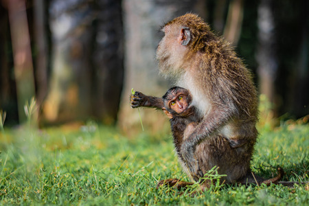 Monkey eating-crab macaque (long-tailed macaque) mother is feeding her baby in Koh Lanta island in the National Park, Thailand