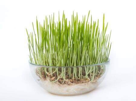 sprouted: Sprouted grains in glass vase, white background