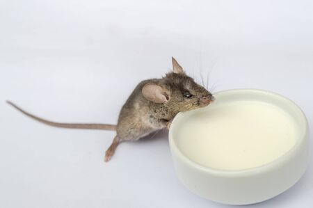 dreadful: Wild baby mouse drinking milk on white background