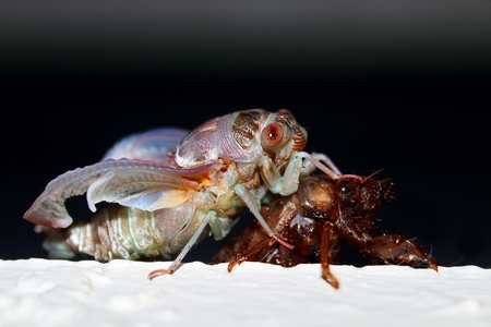 molting: Cicada Insect Stock Photo