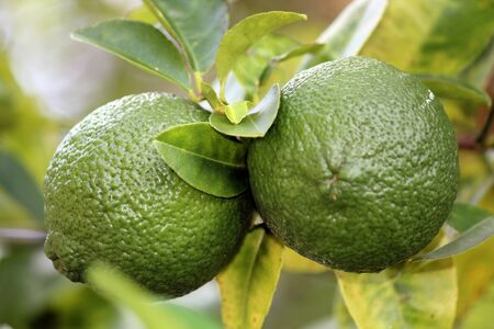 unripened: Close up of Lemons unripened still on the tree