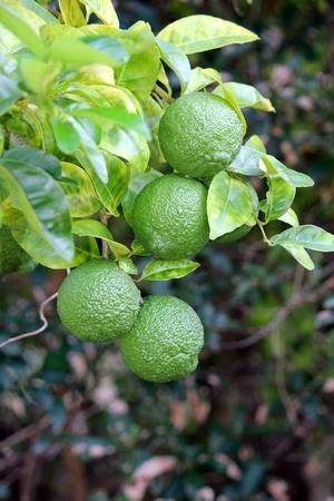 unripened: Lemons unripened still on the tree Stock Photo