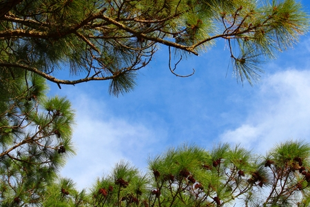 pine needles close up: Pine trees framing the sky with copy space.
