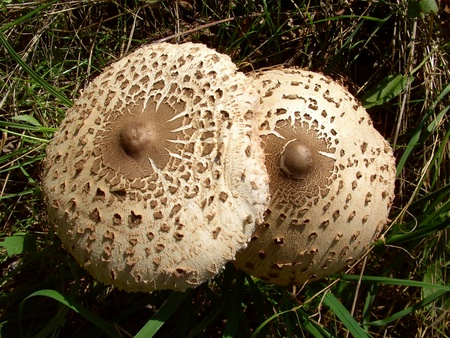 Gigantic screen mushroom Stock Photo