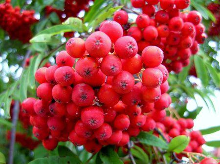 Rowanberries Stock Photo