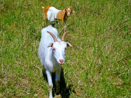 nanny goat: The nanny goat