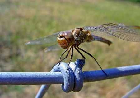 compound eyes: Dragonfly