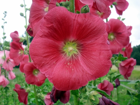 hollyhock: The hollyhock