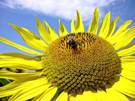 Bumblebee in sunflower Stock Photo
