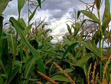 champ de maïs: Le Cornfield Banque d'images