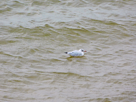 The seagull on the Baltic Sea
