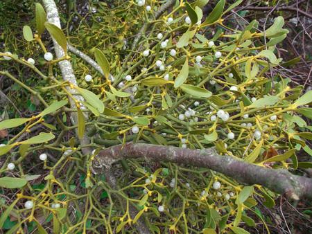 The white-berry mistletoe