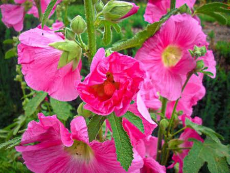 The flowers of the magnificent hollyhock in my garden