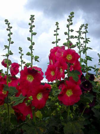 My garden in bloom in summer with magnificent hollyhocks
