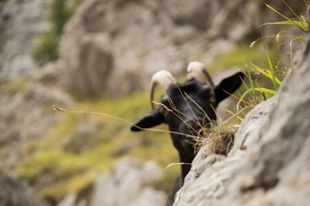 Mountain goats in the  mountains. Playing between them