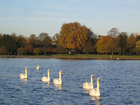 hyde: Swans in Hyde Park Stock Photo
