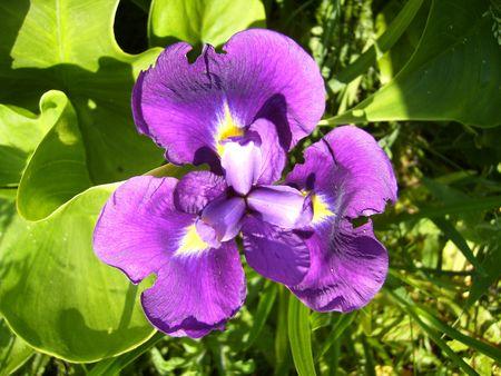 lys: Purple Lys Stock Photo