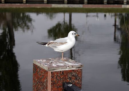 little bird, seagull in the city pond