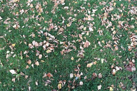 yellow fallen leaves on green grass. autumn