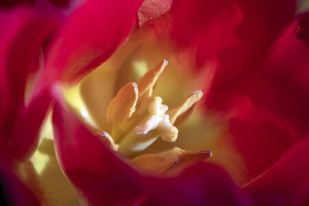 Macro. Photo pollen of beautiful red tulips close-up. Natural background.