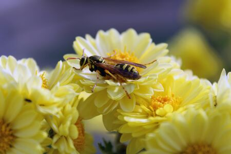 wasp on a yellow flower 스톡 콘텐츠