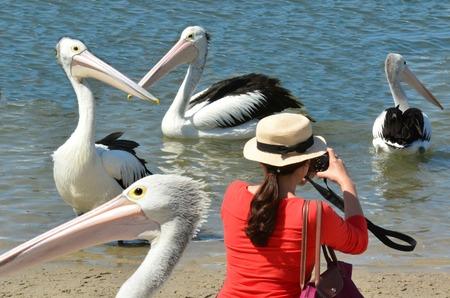 gold coast australia: Tourist photographing Pelicans at Labrador Gold Coast , Australia.