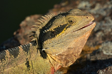 cold blooded: Australian Eastern Water Dragon Agressive Australian Eastern Water Dragon during fight on territory in the wild of Queensland Australia. Stock Photo