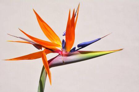 bird of paradise: Ave del paraíso flor Ave del paraíso de flores contra la pared blanca de fondo. Foto de archivo