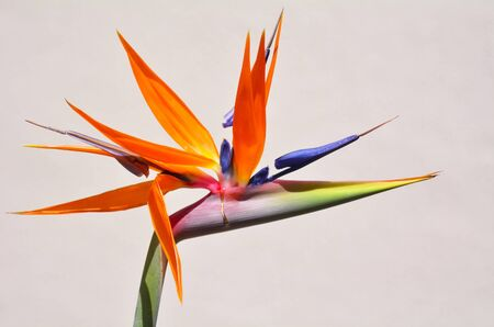 exotic plant: Bird of paradise flower Bird of paradise flower against white wall background.
