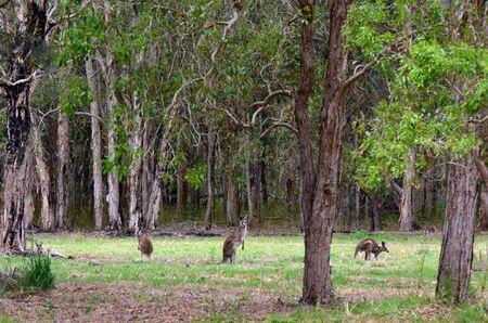 gold coast: Eastern grey kangaroos Eastern grey kangaroos at Coombabah Lake Conservation Park in Gold Coast Queensland Australia Stock Photo