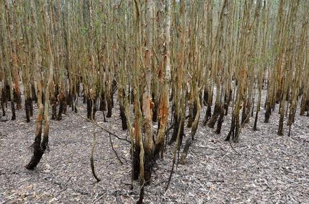 gold coast australia: Landscape of Gum trees in Coombabah Lake Conservation Park Gold Coast Australia