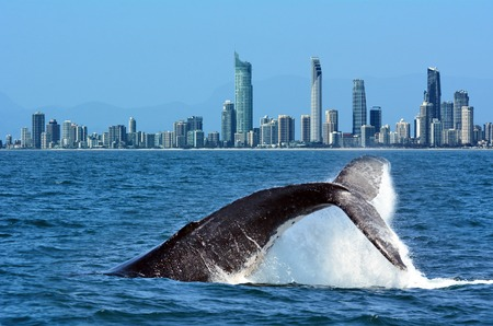 ballena: La cola de una ballena jorobada (Megaptera novaeangliae) subida por encima del agua contra el horizonte de Surfers Paradise en la Gold Coast Queensland Australia Foto de archivo