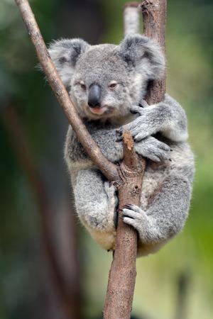 gold coast: Baby cub Koala (Phascolarctos cinereus) sit on eucalyptus tree  branch in Australia. Stock Photo