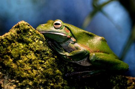 green tree frog: Australian green tree frog sit on a rock in a rainforest in Gold Coast Queensland Australia.