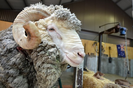 Male Merino sheep sheep Australian Sheep shearing farm in Queensland, Australia.