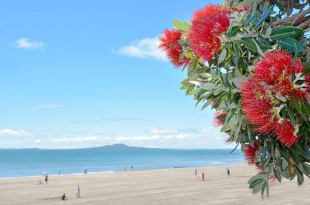 Pohutukawa rode bloemen bloeien in de maand december in het Noord-oever van Auckland, Nieuw-Zeeland. exemplaar ruimte