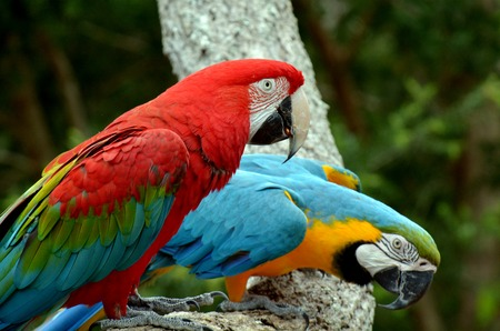 gold coast: Pair macaw sitting on branch in Gold Coast Queensland, Australia. Stock Photo