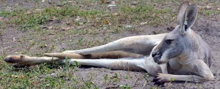 gold coast: Eastern grey kangaroo female lying on the ground  in Gold Coast Queensland, Australia