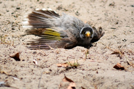 noisy: Noisy miner dustbathing  Female Noisy miner Manorina melanocephala dustbathing.