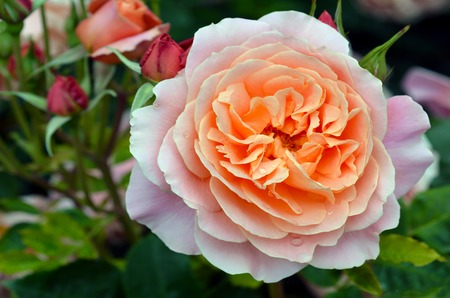 north island: Close up of a pink rose in the Rose Garden of Palmerston North, North Island, New Zealand.