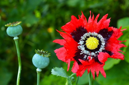 seedpod: Opium poppy flower beside papaver somniferum capsules.
